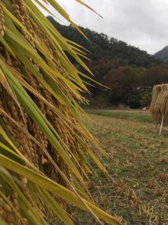 酒米稲刈り鹿教湯温泉